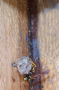 European Paper Wasp in nestbox?  Photo by EA Zimmerman