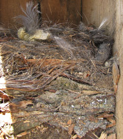 WBNU nest. Photo by Bet Zimmerman.