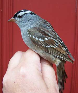White Crowned Sparrow. Photo by Bet Zimmerman.