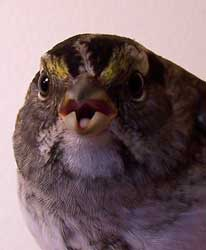 White-throated sparrow, face.  Photo by Bet Zimmerman